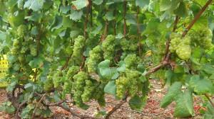 Pied de vigne en Avats